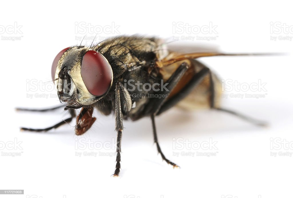 Isolated Housefly royalty-free stock photo
