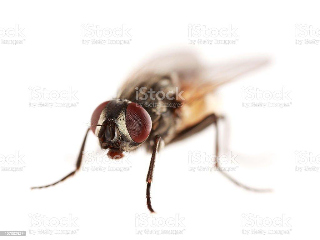 Isolated housefly (XXL) royalty-free stock photo