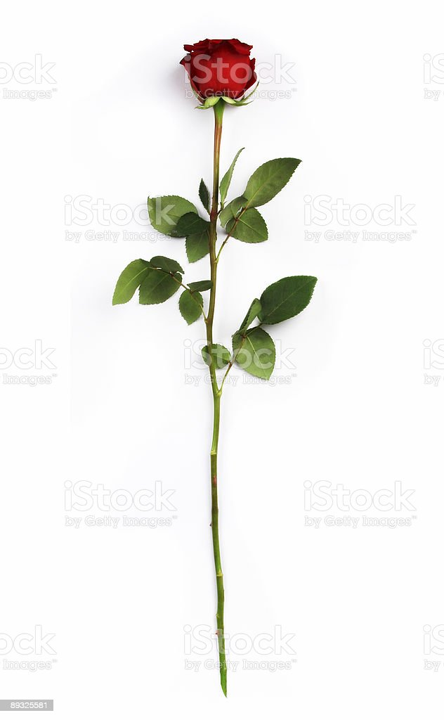 Isolated image of a red rose and leaves stock photo