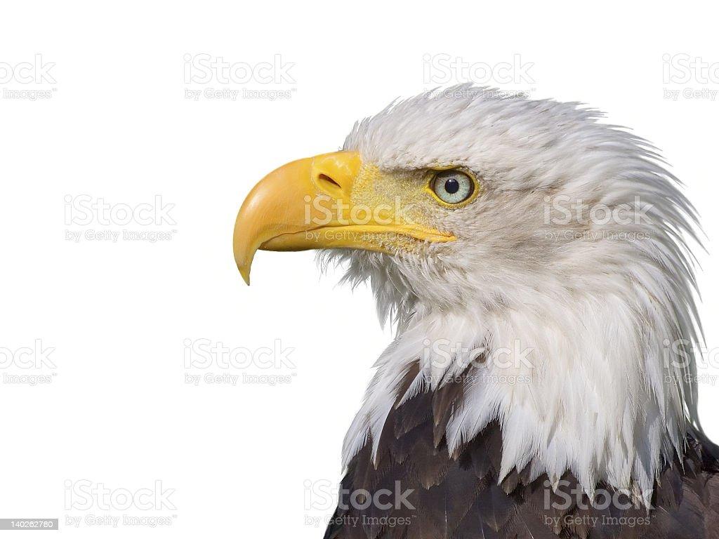 Isolated image of bald eagle head on white background stock photo