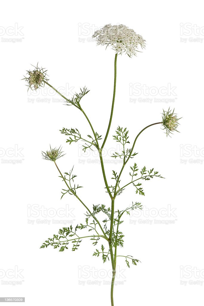 Isolated image of flowering wild carrot stock photo