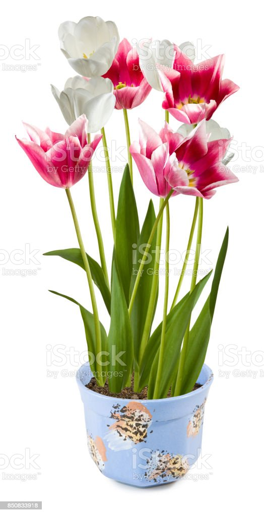 Isolated image of flowers in a pot closeup stock photo