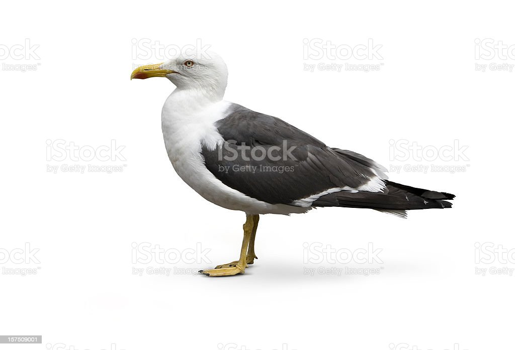 Isolated image of Larus argentatus - Herring Gull stock photo