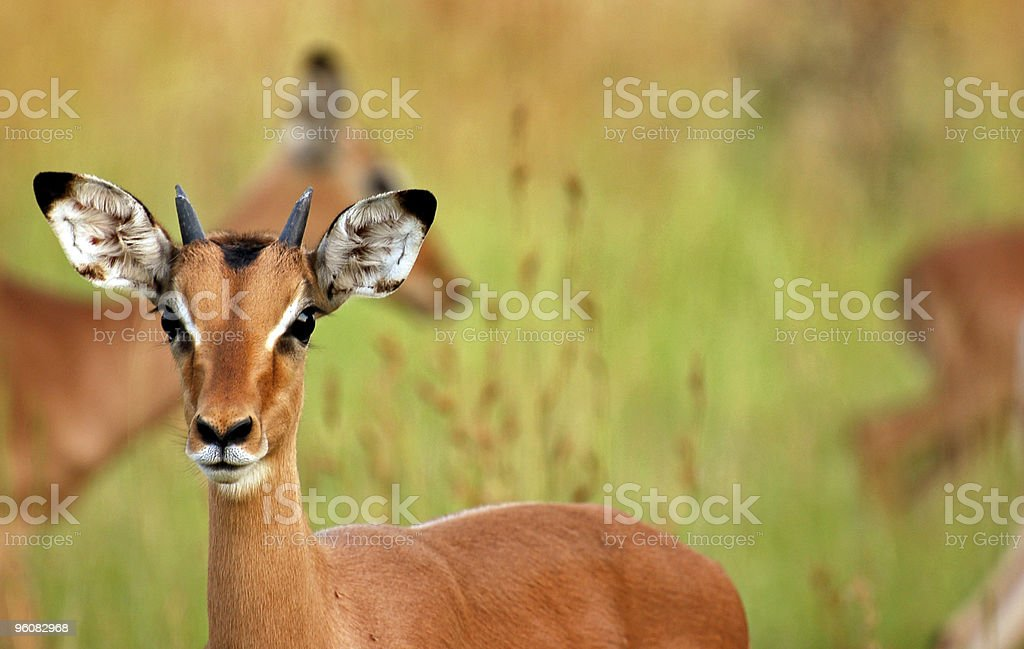 Isolated Impala stock photo