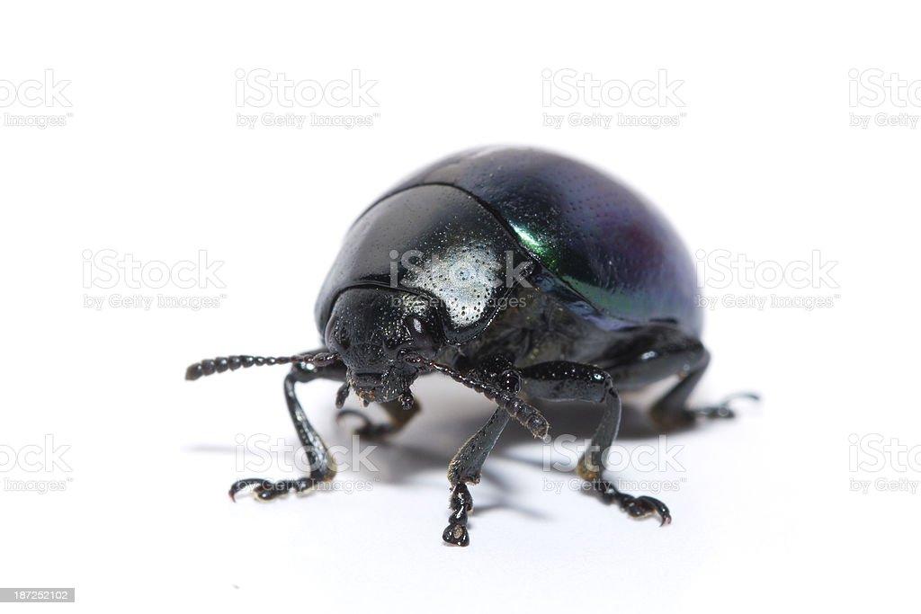 Isolated Iridescent Beetle royalty-free stock photo