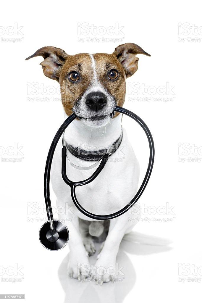 Isolated Jack Russel holding stethoscope stock photo