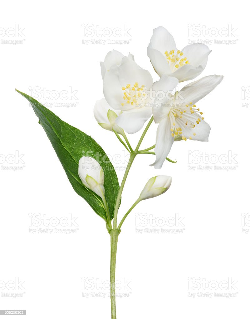 isolated jasmine branch with blooms and buds stock photo