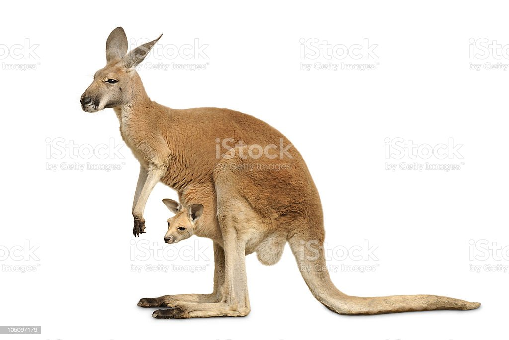 Isolated kangaroo with cute Joey stock photo