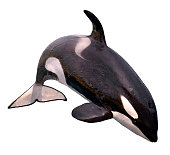 Isolated killer whale jumping