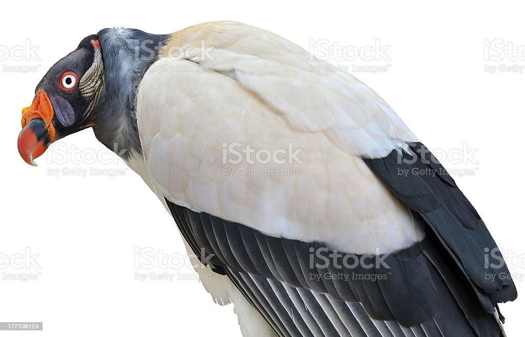 Isolated King vulture stock photo