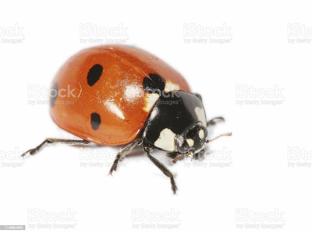 Isolated ladybug 5 royalty-free stock photo