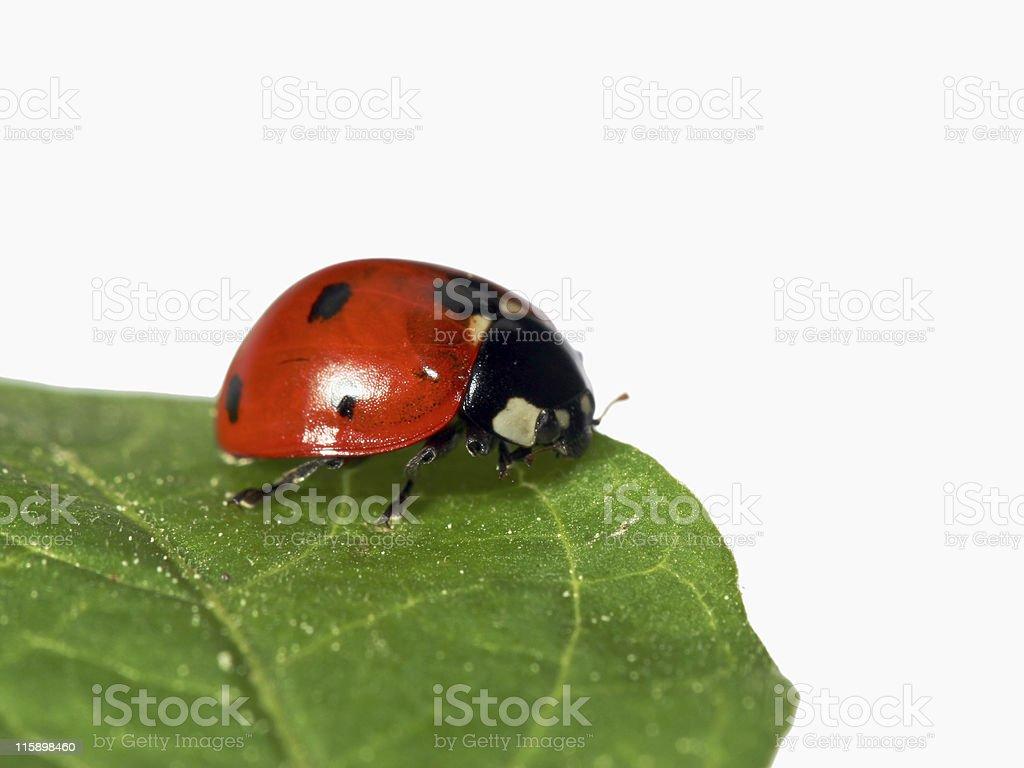 Isolated ladybug and leaf 02 royalty-free stock photo