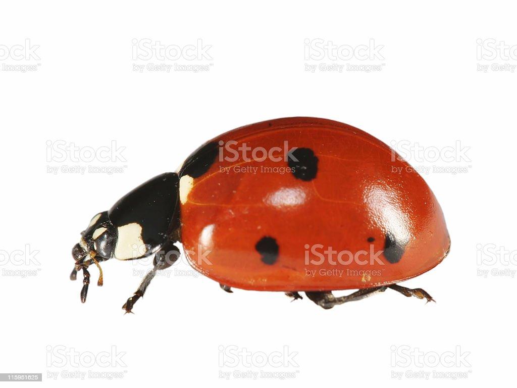Isolated ladybug royalty-free stock photo