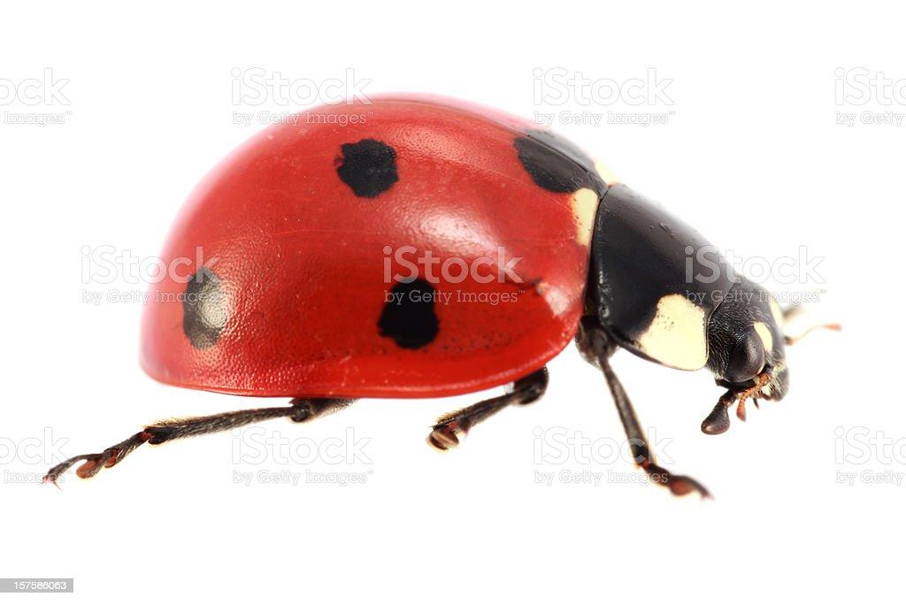 Isolated Ladybug (XXXL) stock photo