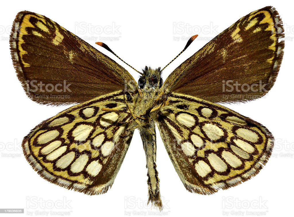 Isolated Large Chequered Skipper butterfly royalty-free stock photo