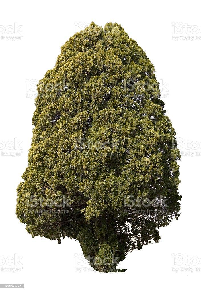 Isolated Large Shrub/Tree royalty-free stock photo