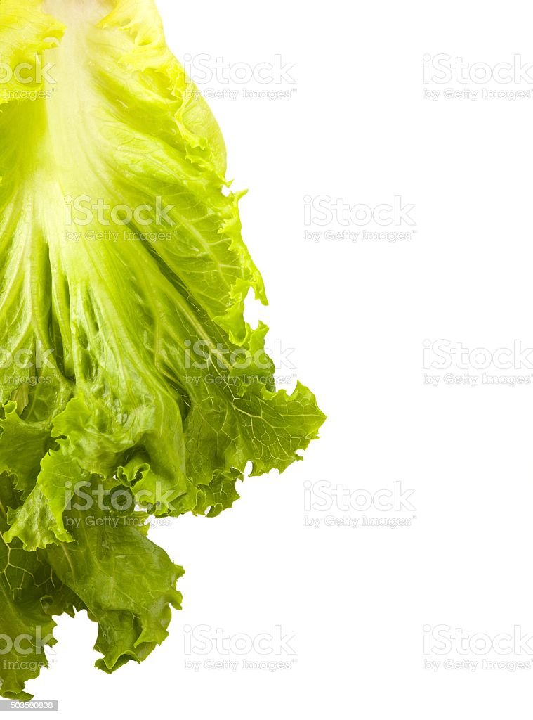 isolated left standing lettuce leaf stock photo