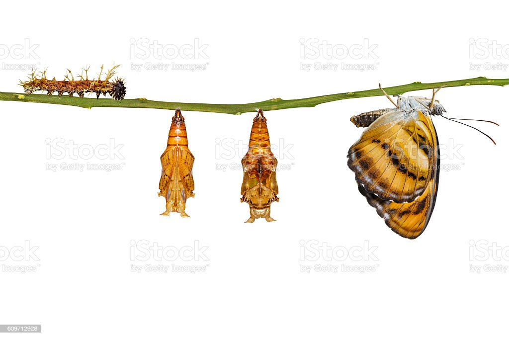 Isolated life cycle of colour segeant butterfly hanging on twig stock photo