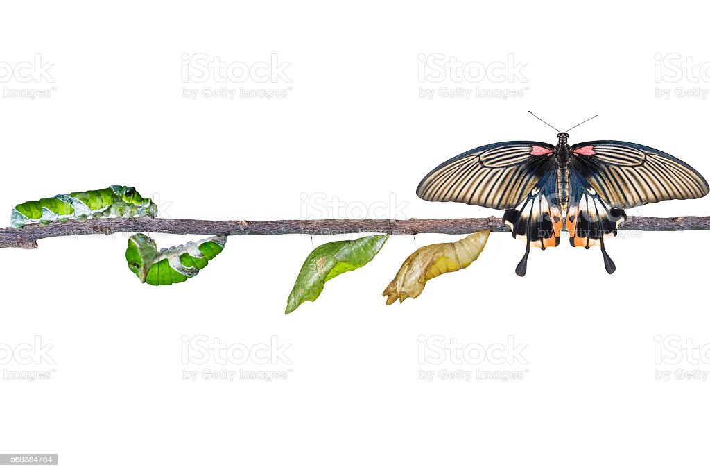 Isolated life cycle of female great mormon butterfly from caterp stock photo
