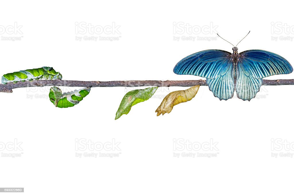Isolated life cycle of male great mormon butterfly from caterpil stock photo