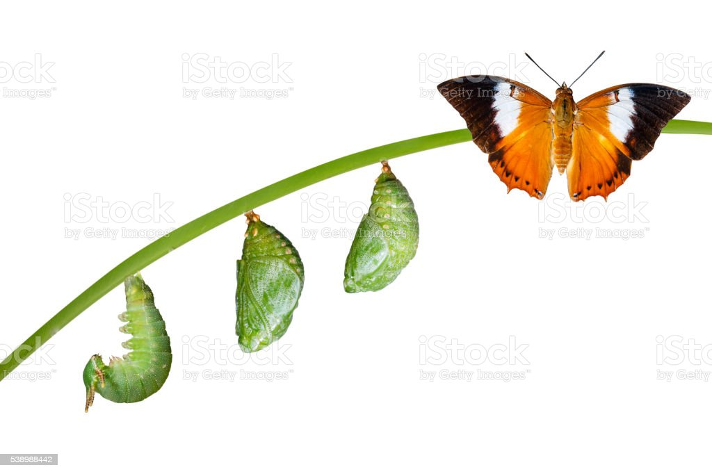 Isolated life cycle of Tawny Rajah butterfly on white stock photo