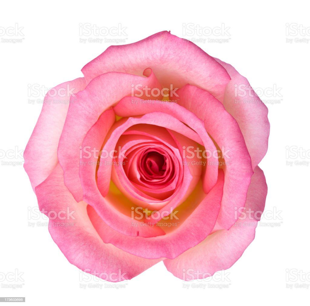 Isolated Light Pink Rose stock photo