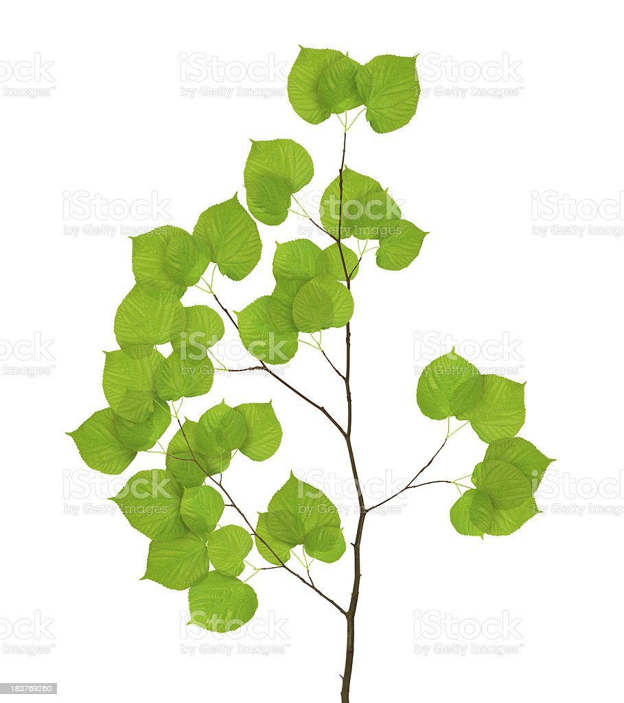 Isolated Lime Tree Leaves royalty-free stock photo