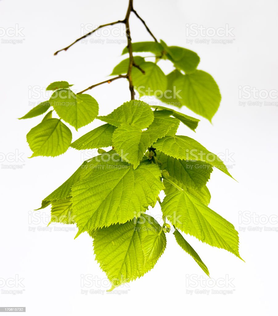 isolated linden-tree leaves stock photo