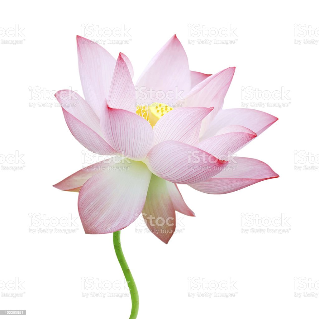 isolated lotus stock photo