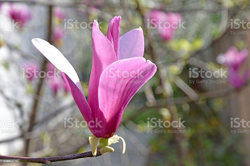 Isolated magnolia stock photo