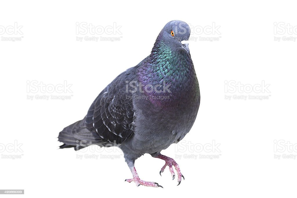 isolated male feral pigeon stock photo