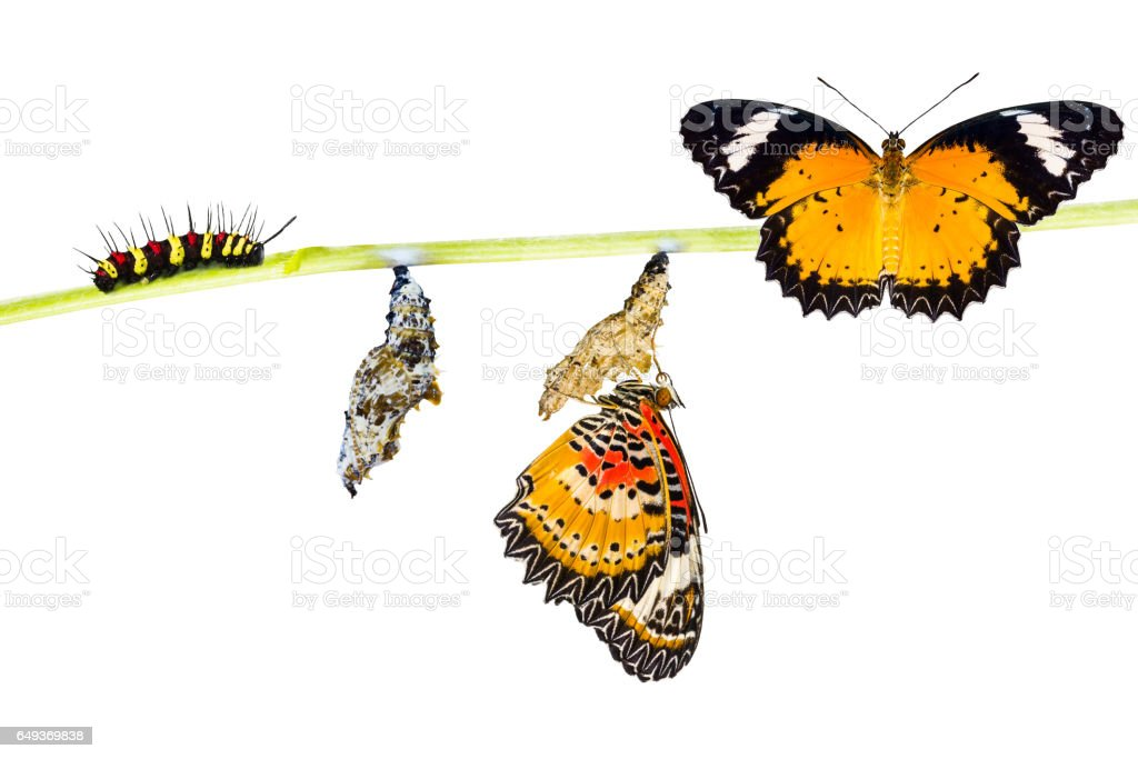 Isolated Male Leopard lacewing butterfly life cycle stock photo