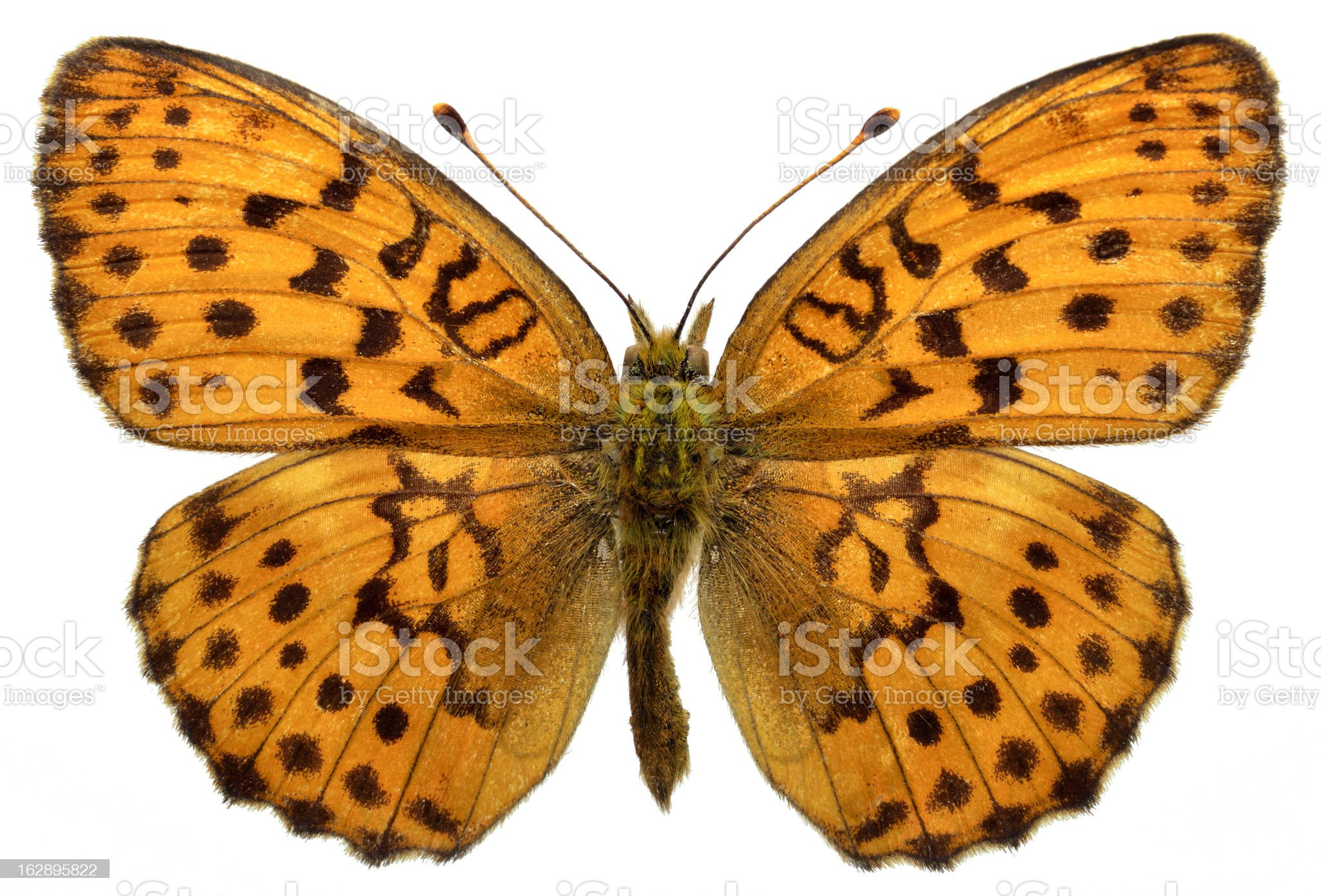 Isolated Marbled Fritillary butterfly royalty-free stock vector art