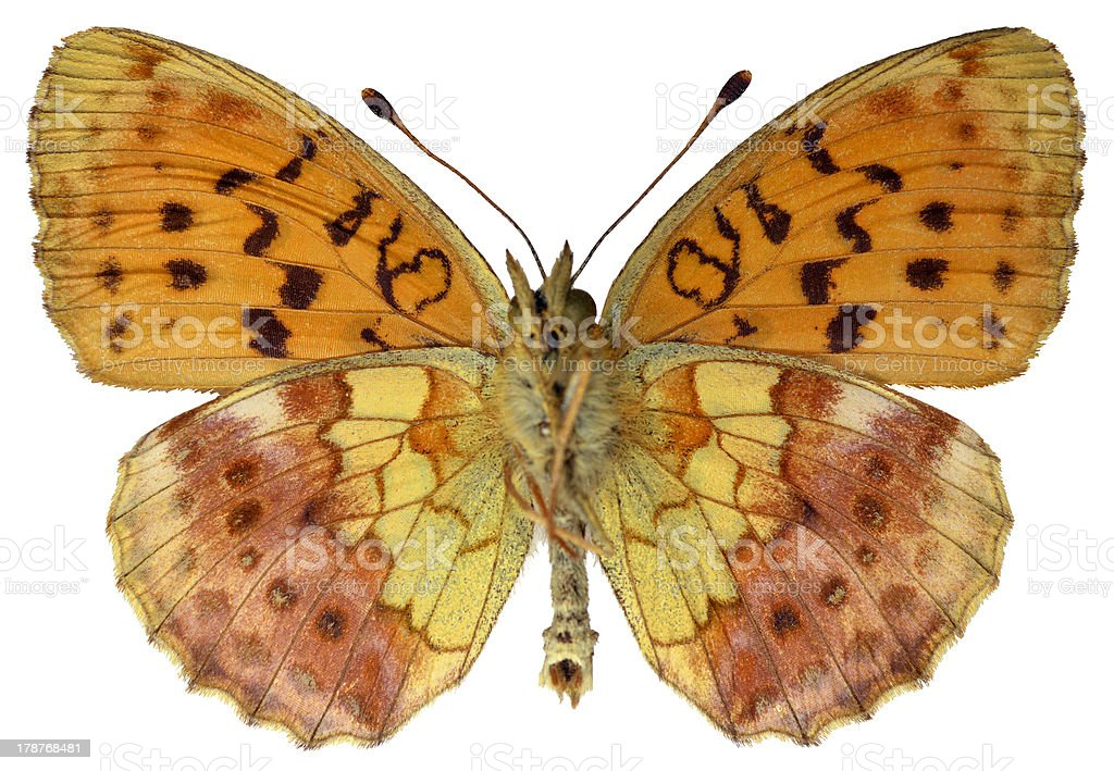 Isolated Marbled Fritillary butterfly royalty-free stock photo