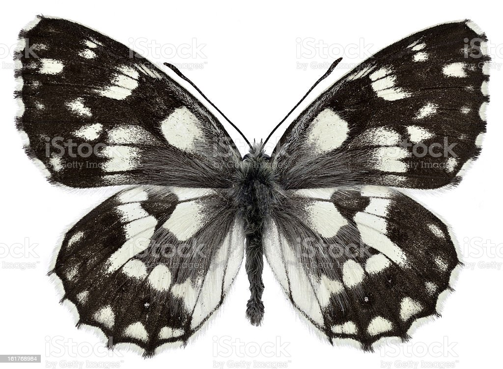 Isolated Marbled White butterfly royalty-free stock photo