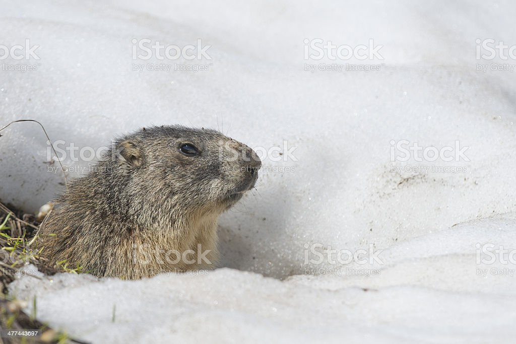 Isolated Marmot while running on the snow stock photo