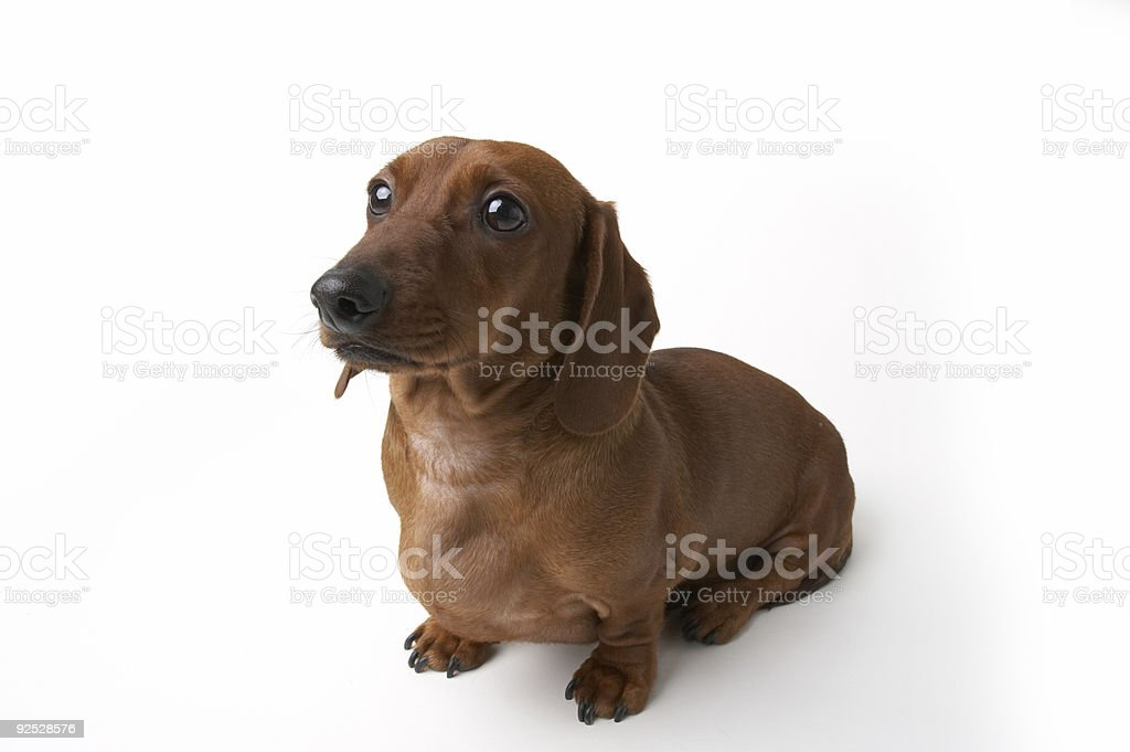 Isolated Mini Dachshund Dog royalty-free stock photo