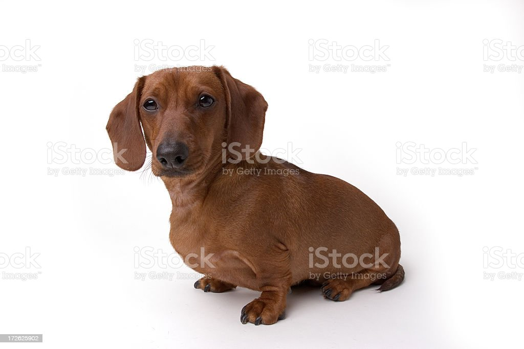Isolated Mini Daschund Dog royalty-free stock photo