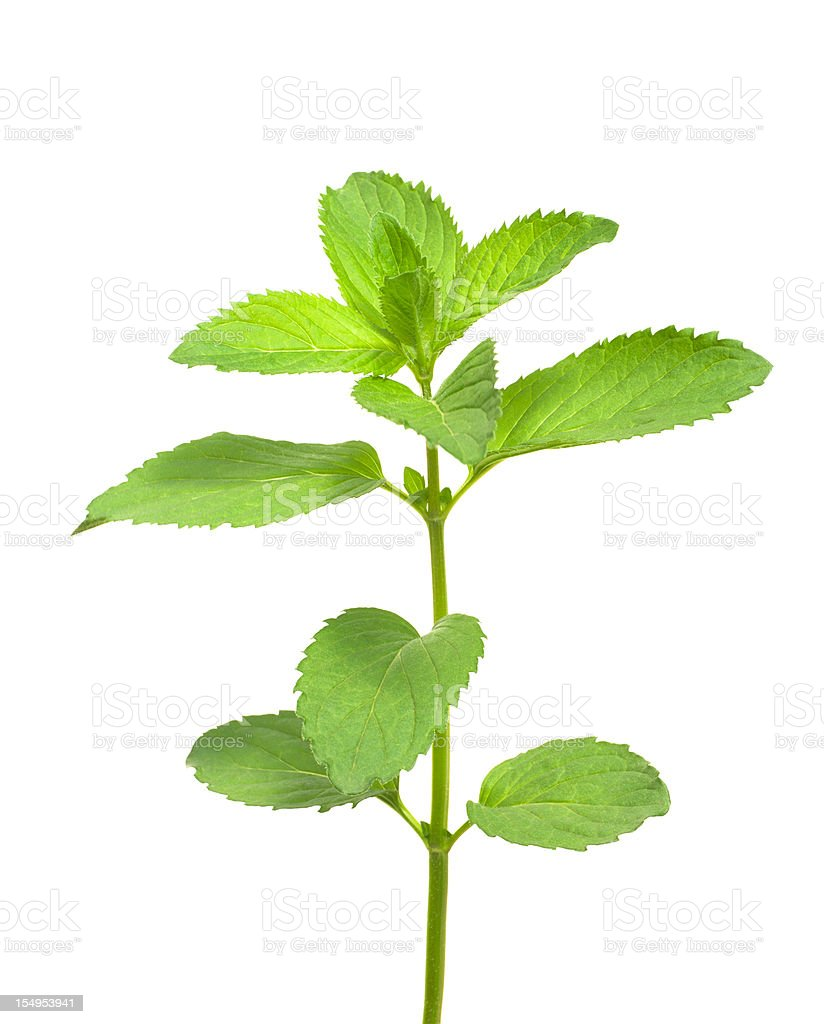 Isolated Mint stock photo