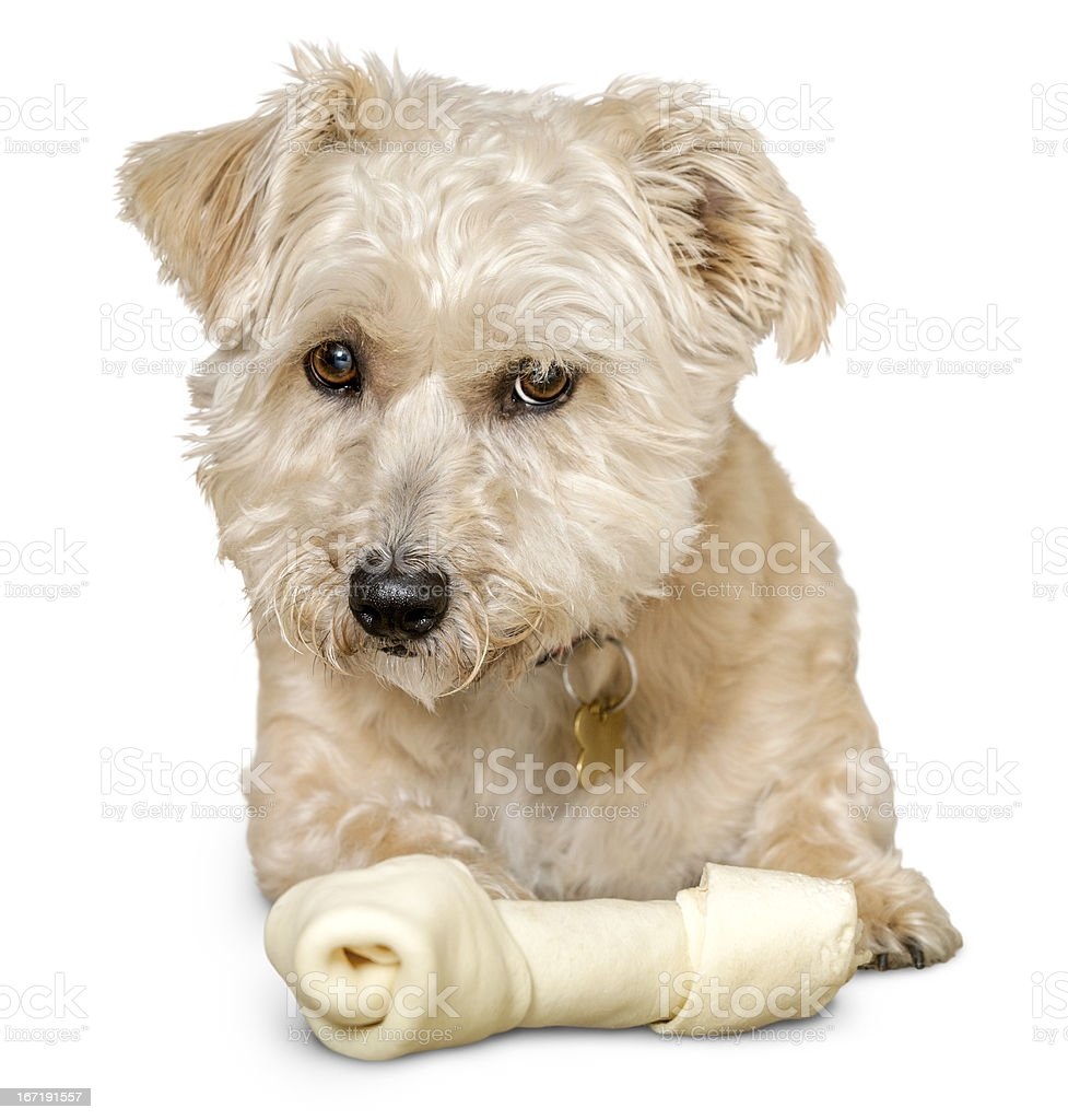 Isolated Mixed Breed Terrier Dog Lying Down With Rawhide Bone stock photo
