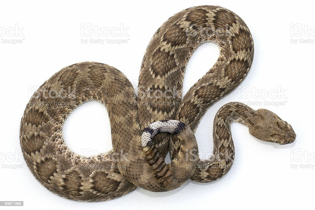 Isolated Mojave Rattlesnake royalty-free stock photo