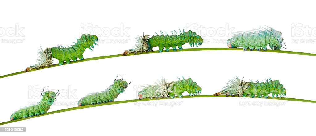 Isolated molting caterpillar of Atlas butterfly stock photo