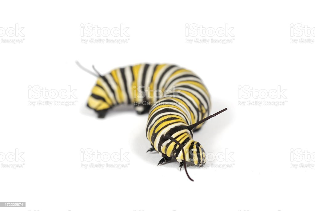 Isolated Monarch Caterpillar royalty-free stock photo
