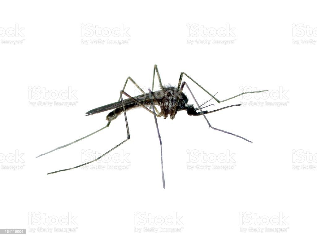Isolated mosquito royalty-free stock photo