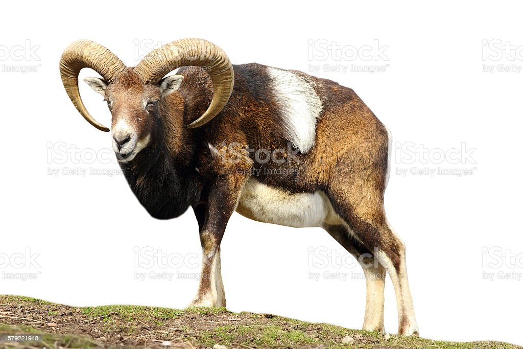 isolated mouflon looking at the camera stock photo