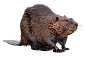 Isolated North American Beaver