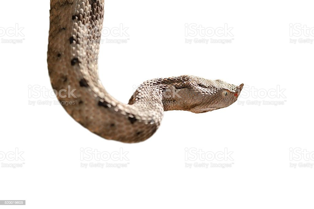 isolated nose horned viper stock photo