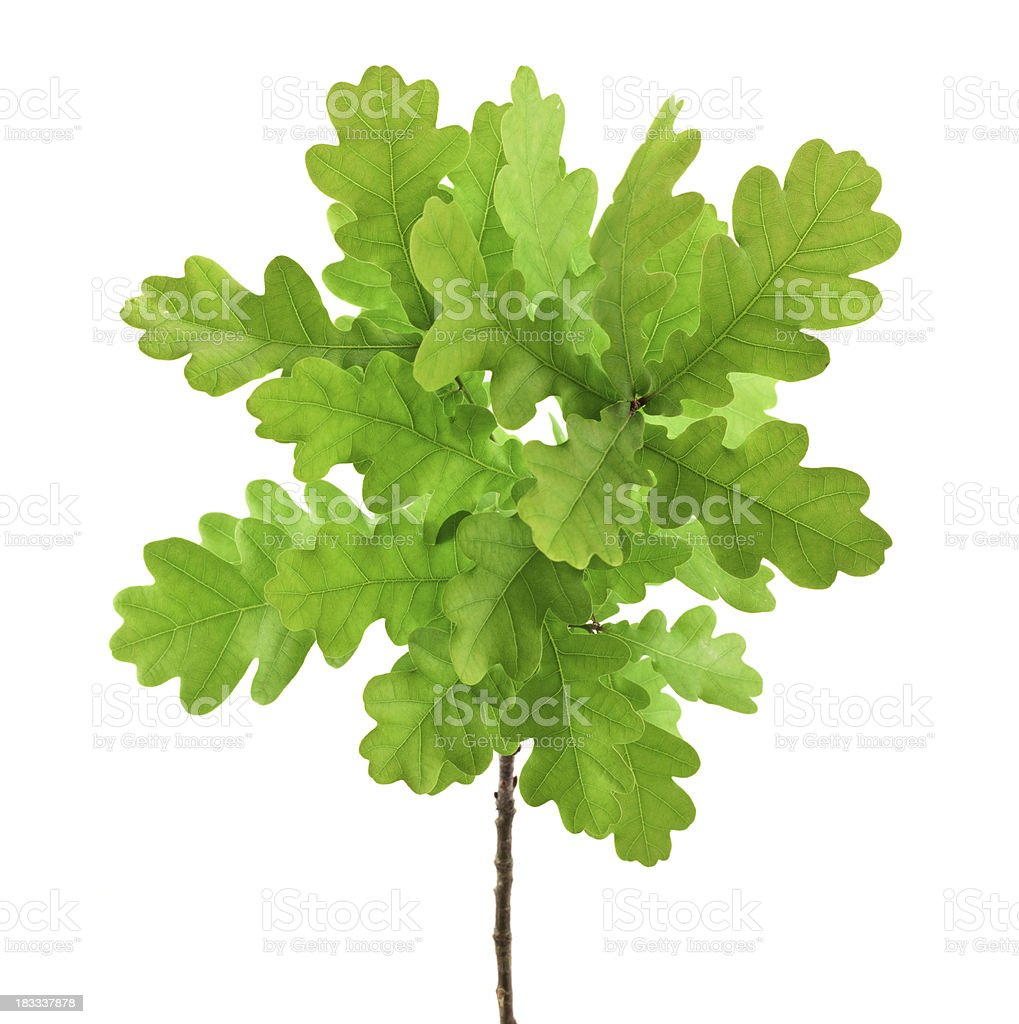 Isolated Oak Branch stock photo