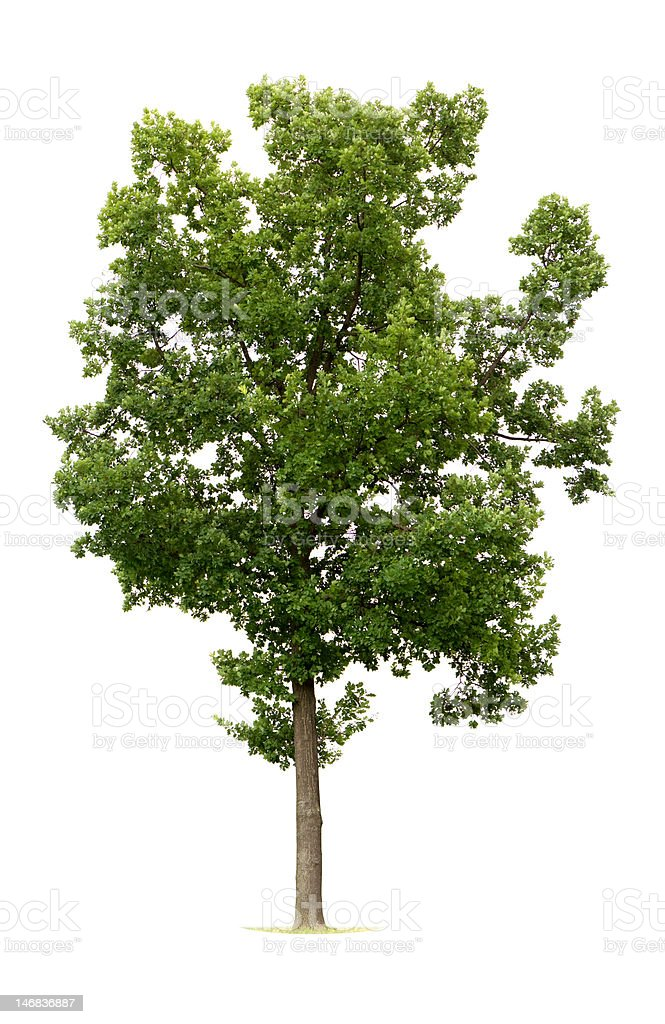 Isolated Oak Tree royalty-free stock photo