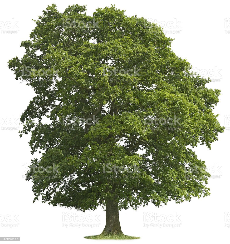Isolated Oak Tree stock photo